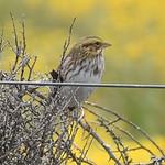 carrizo_sparrow_1